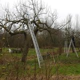 Fruitbomen snoeien_6