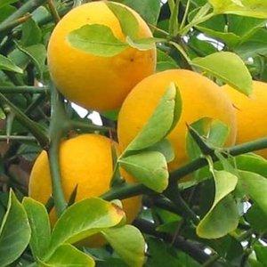 Poncirus trifoliata - Driebladige citroen - inflora