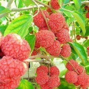 Cudrania tricuspidata - Chinese moerbei - inflora