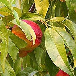 Nectarine Rubygold